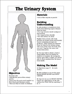 The Urinary System - Printable Worksheet