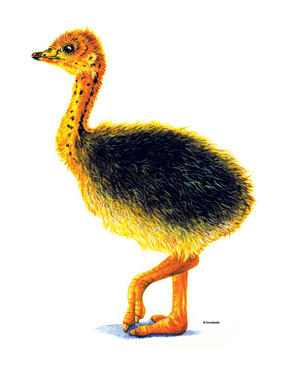 Baby Ostrich - Image Clip Art
