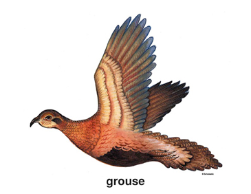 Grouse - Image Clip Art